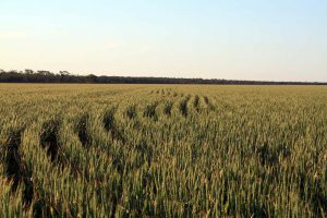 Wheat crop starting to mature and change colour