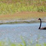 Black swans on the lagoon