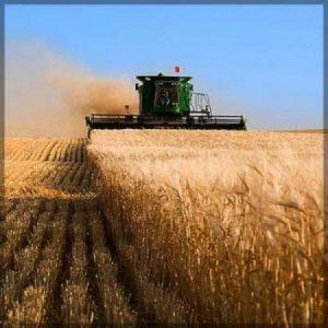 The barley is harvested in Saskatchewan