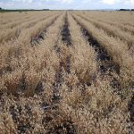 A field of chick peas