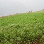 Young buckwheat crop