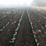 Early stage of crop's growth.