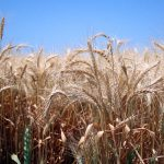 Graham's wheat
