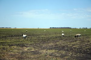 Graham uses sheep to keep weeds in check