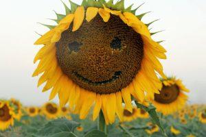 Happy Sunflower!