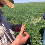 Inspecting the head of ripening wheat