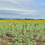A field of sunflowers - Lindsay & Jarrad