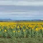 Panorama of sunflower field showing the range near Rolleston