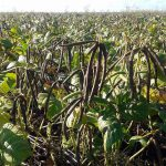 Mung beans ready for harvest