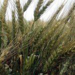 小麦は8月頃までに成熟する。穀粒が形作られていく様子