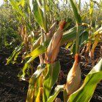 トウモロコシは夏季にかけて成長し、6月に収穫される