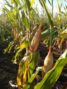 Corn grows through summer and is harvested around June