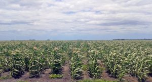 Mike's white sorghum crop in the field