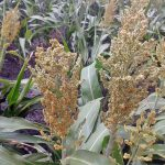 The heads of sorghum are ready to harvest