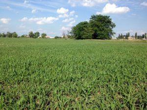 Millet field in Ukraine
