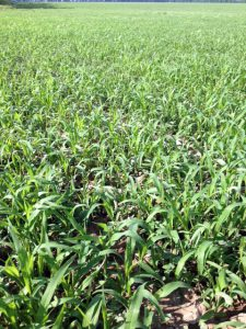 Millet is a fast growing crop and will be ready in about 70 days from planting