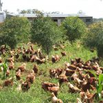 More happy chickens roaming across the property