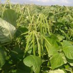 Mung beans pods start to appear on the plants