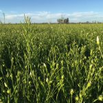 The linseed crop is not yet mature