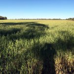 The green wheat is just starting to turn yellow and be ready to harvest.