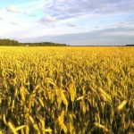 Rye has a lovely golden colour as it approaches harvest