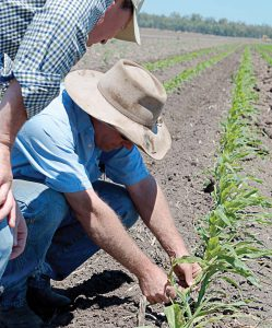 Steve passes along some of his experience with popcorn as he & Rob inspect the young crop.