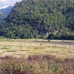 December is harvest time and the rice is drying in the field