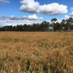Eric's millet crop comes to maturity