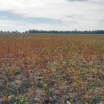 Buckwheat is ready for harvest