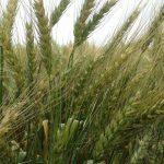 緑色の小麦の穂。乾燥を待って収穫となる。