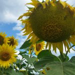 The heads of ripe sunflowers