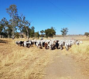 Matt mustering the cattle