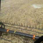 Harvesting the millet