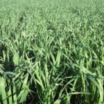 Green oats growing in the field around July.