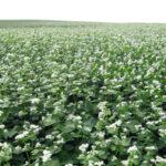 Buckwheat stretches as far as the eye can see in North Dakota.