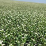 Buckwheat coming to flower in the field. The variety is Koto.