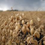 ひよこ豆を育てる