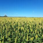 収穫間近のソルガム作物